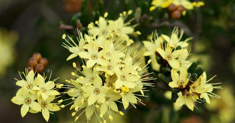 Phebalium squamulosum - Mt Canobolas
