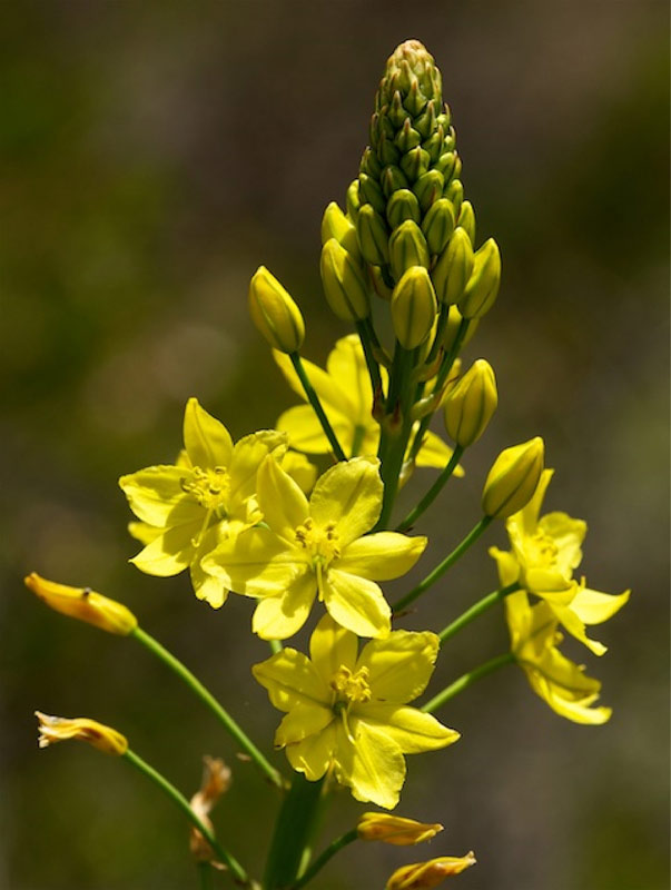 Bulbine sp. endemic to the Canobolas volcanic complex