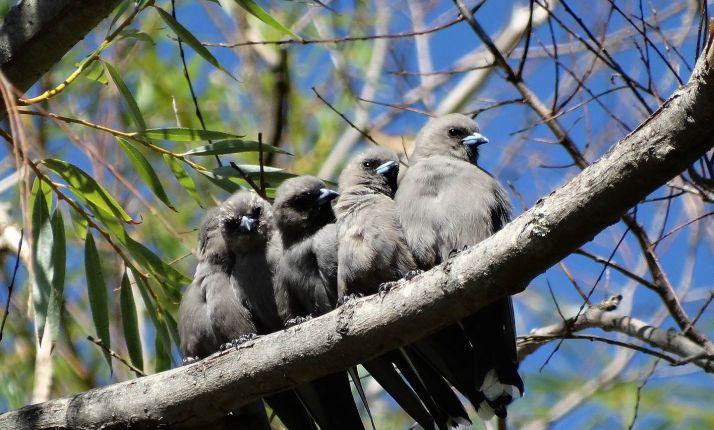 Dusky Wood Swallows -SAVE Mt Canobolas SCA