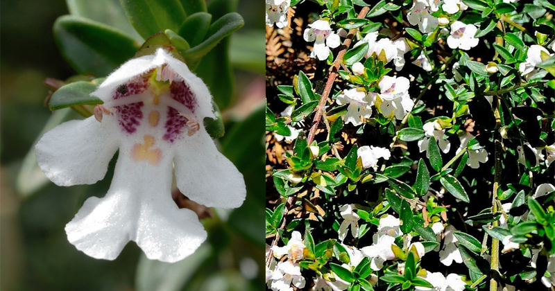 endemic to the Canobolas - Prostanthera gilesii