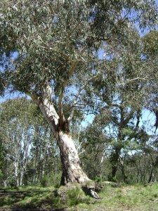 Eucalyptus canobolensis endemic to the Mt Canobolas precinct