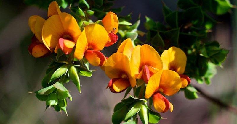 Pultenaea polifolia, Mount Canobolas SCA