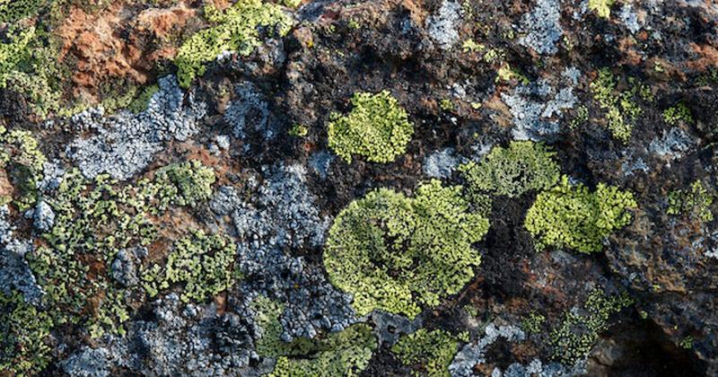 Lichen covered Rock - SAVE MT Canobolas SCA