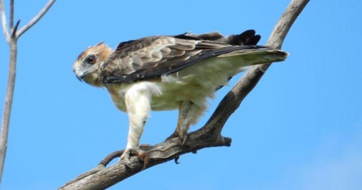 Hieraaetus morphnoides (Little Eagle)