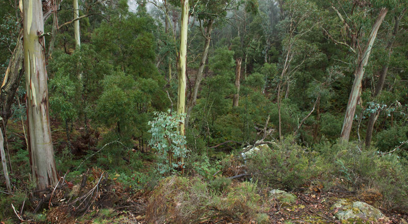 Endangered Ecological Community -Eucalyptus dalrympleana (Mountain Gum) and E. pauciflora (Snow Gum)