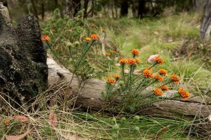 SAVE Mount Canobolas Pea flower