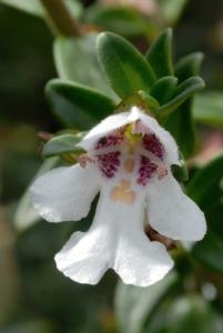 Prostanthera gilesii - MOUNT CANOBOLAS