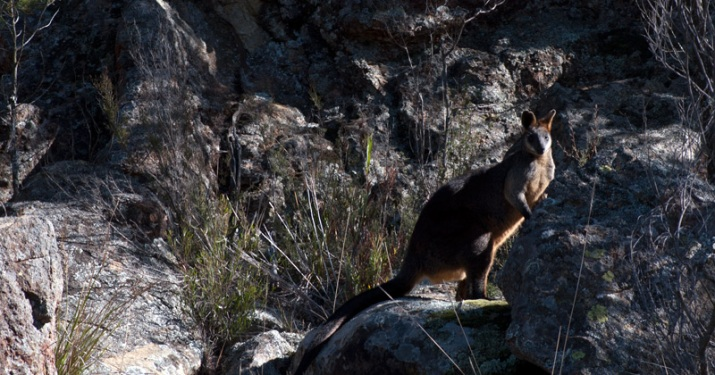 Red-necked Wallaby, Mount Canobolas SCA. Photo by Dr Richard Medd