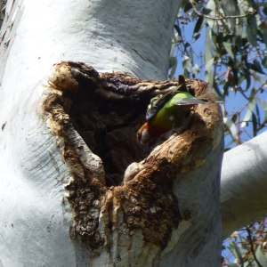 Bird nesting hollows provided by endangered Eucalyptus canobolensis