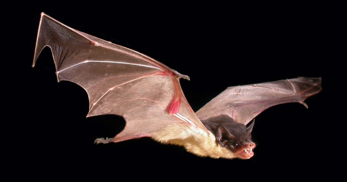 Saccolaimus flaviventris (Yellow-bellied Sheathtail Bat)