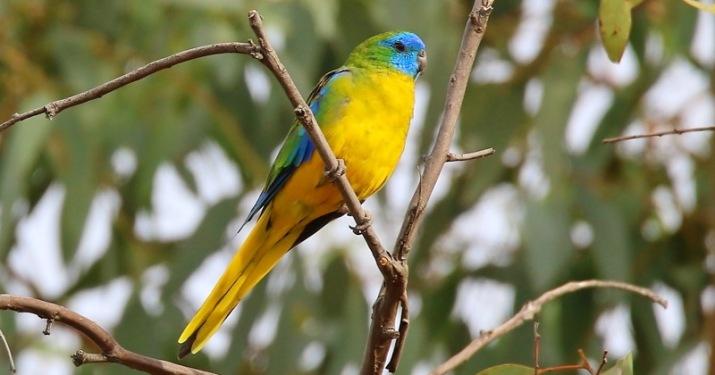 turquoise parrot Mount Canobolas unique biodiversity