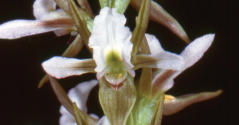 Canobolas Leek Orchid, photo by Dr Bower