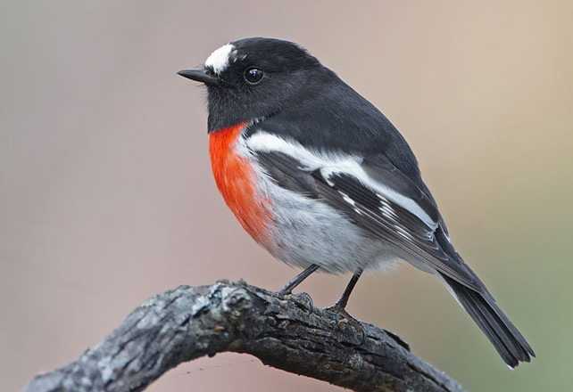 Scarlet Robin (Petroica boodang) male. Photo by JJ Harrison