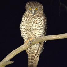 Powerful Owl_Kerle_Mt Canobolas_Mar2019(website)